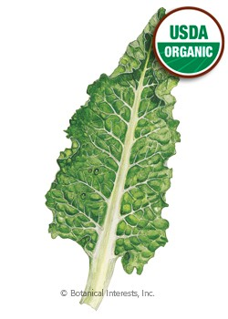 Swiss Chard Fordhook Giant Organic HEIRLOOM Seeds