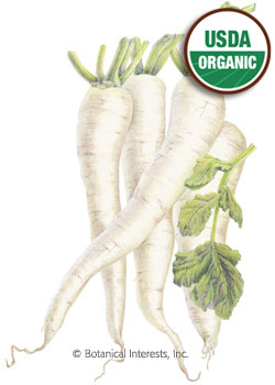 Radish Daikon Miyashige White Organic HEIRLOOM Seeds
