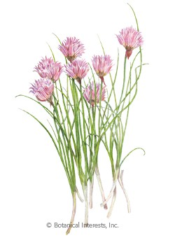 Chives Common HEIRLOOM Seeds