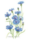 Bachelor's Button Blue Boy HEIRLOOM Seeds