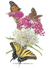 Butterfly Flower Irresistible Milkweed Blend Seeds