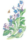Borage HEIRLOOM Seeds